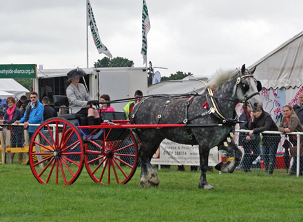Percheron Horse pulling two wheeled cart