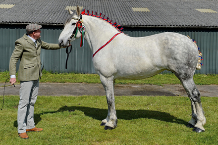 Supreme Heavy Horse Championship Winner, Nottingham County Show 2019 'Willingham Mary'